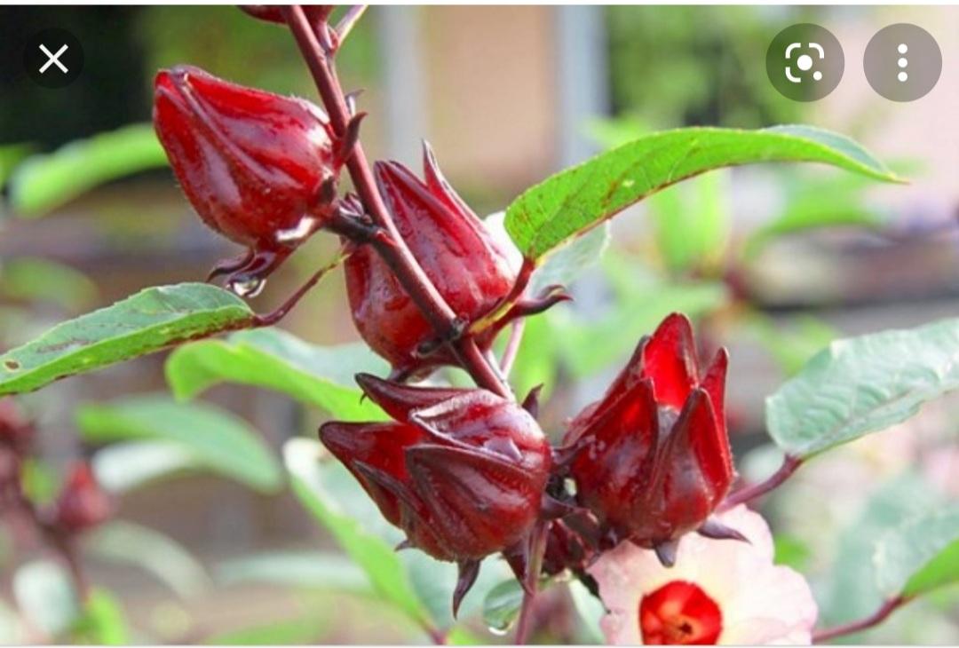 Sự Khác Biệt Giữa Hoa Atiso Xanh Và Hoa Atiso Đỏ