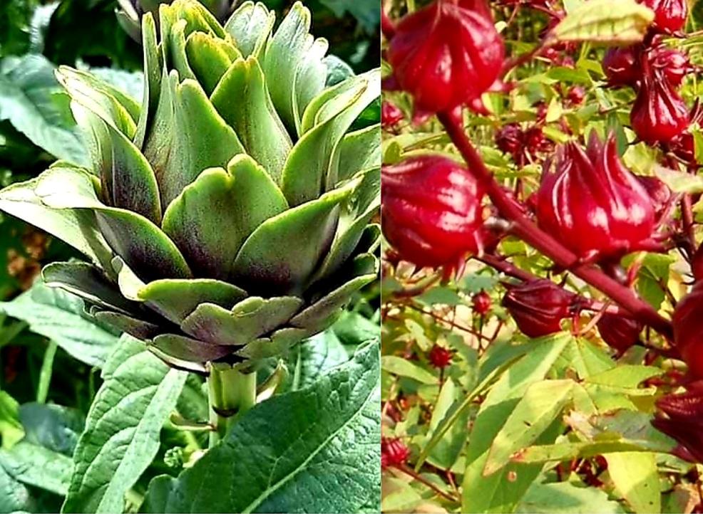 Hoa Atiso Đà Lạt Có Mấy Loại - Công Dụng Hoa atiso Đà Lạt Với Sức khỏe