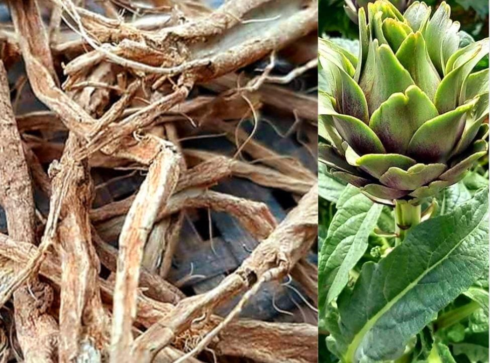 Rễ Atiso Sấy Khô Giải Độc Gan Mua Hàng Chất Lượng Ở Đâu