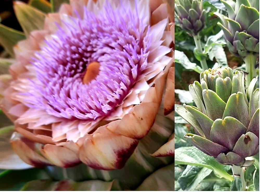 Hoa Atiso Đà Lạt Khi Nở Màu Gì? 9 Điều Cần Biết Về Hoa Atiso Đà Lạt